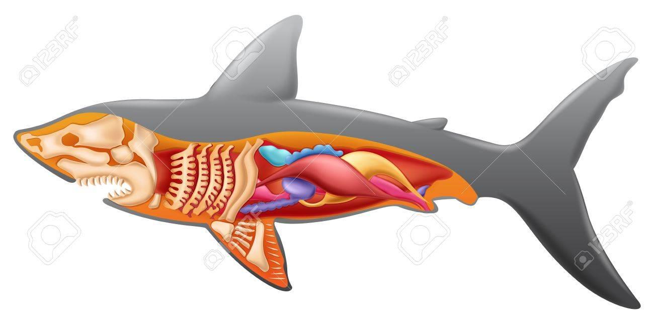 Ilustración Que Muestra La Anatomía Del Tiburón Ilustraciones ...
