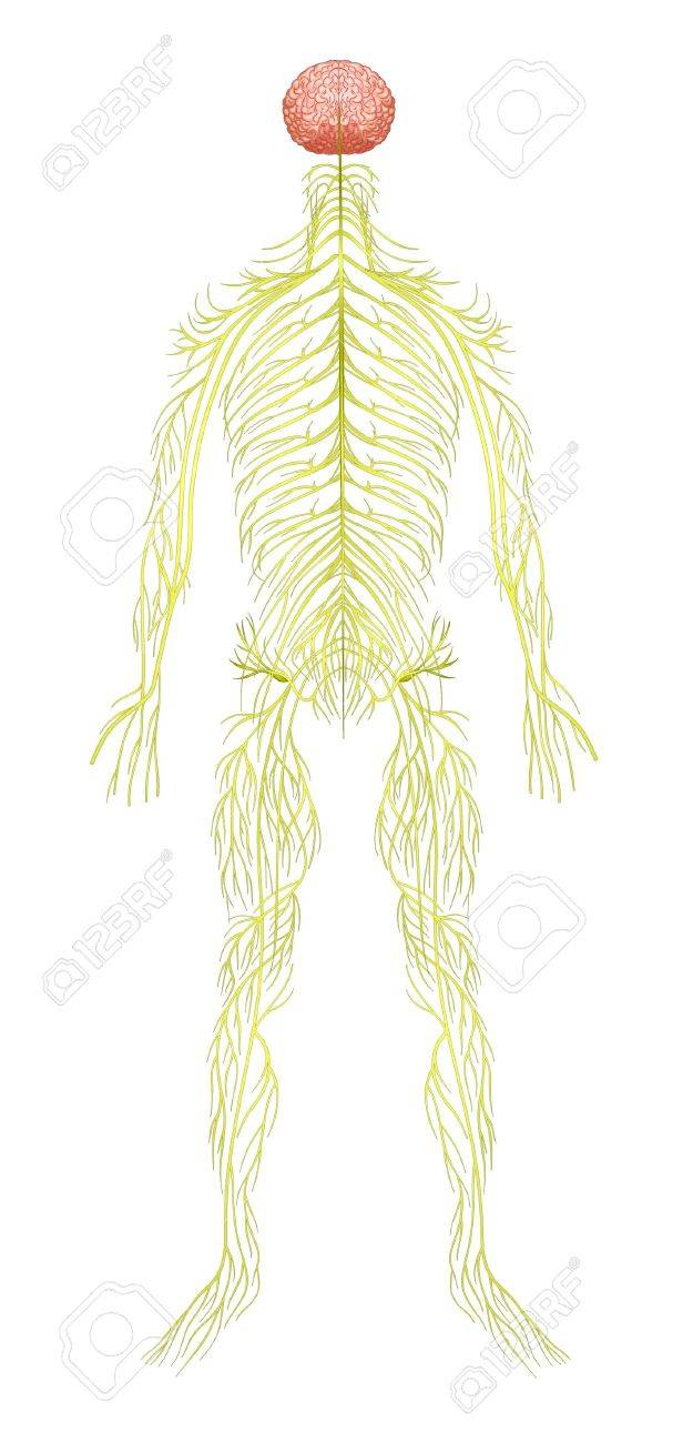 Illustration of the human nervous system Stock Vector - 20774819
