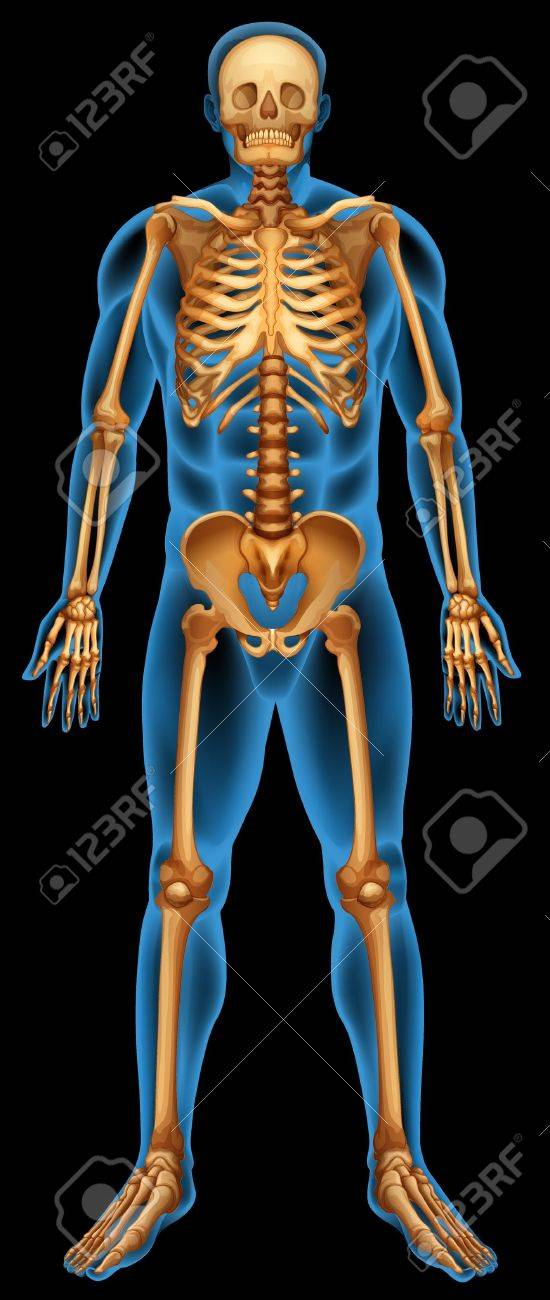 Illustration of the human skeletal system Stock Vector - 20774820