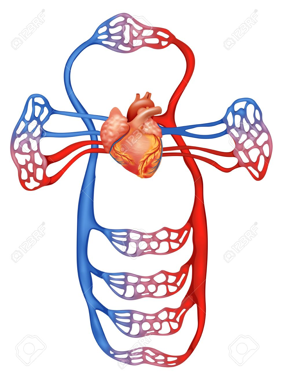 illustration showing the circulatory system royalty free cliparts rh 123rf com
