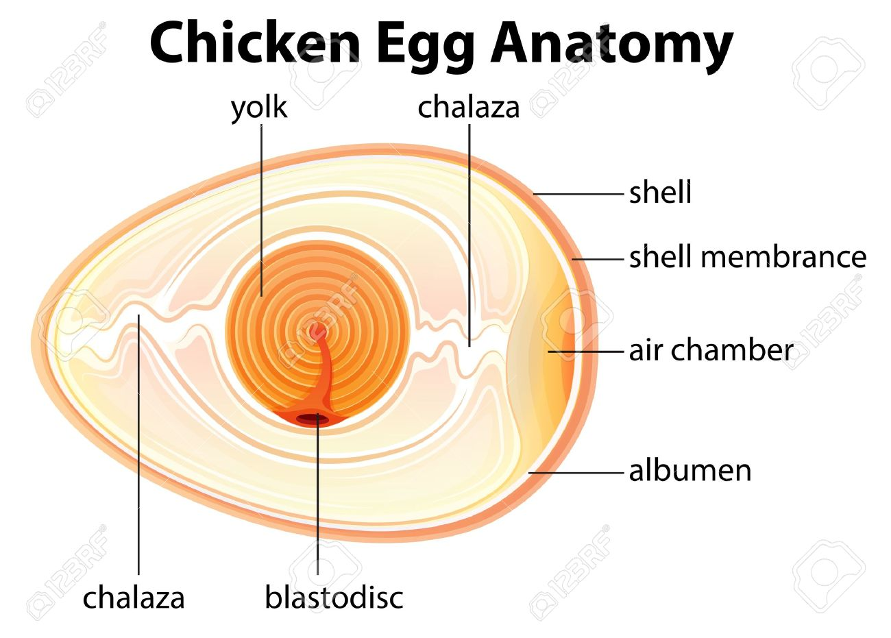 Illustration Showing The Chicken Egg Anatomy Royalty Free Cliparts ...