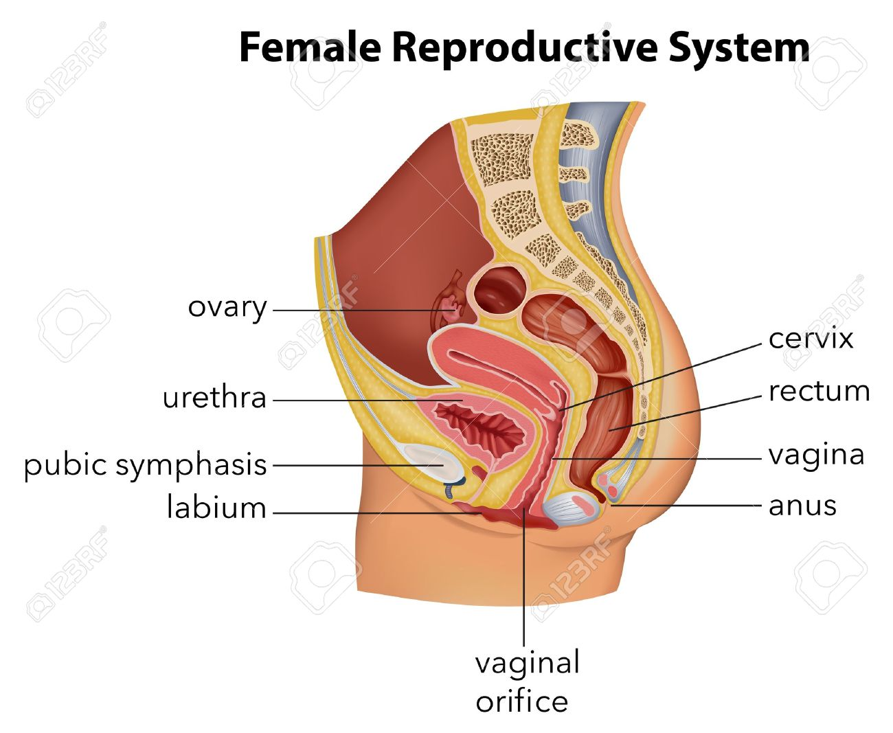 Illustration showing the female reproductive system Stock Vector - 21637799