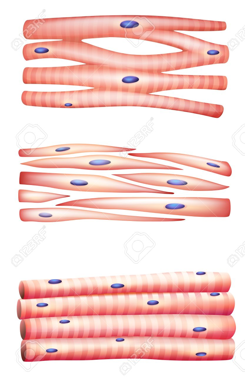 Illustration of the types of muscles Stock Vector - 22386053