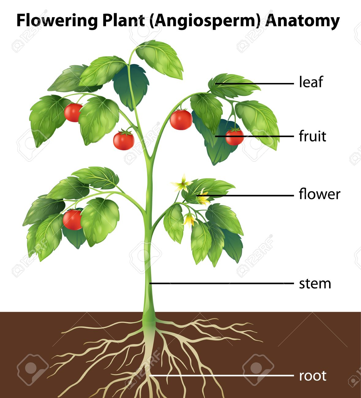 Illustration Showing The Parts Of A Tomato Plant Royalty Free ...