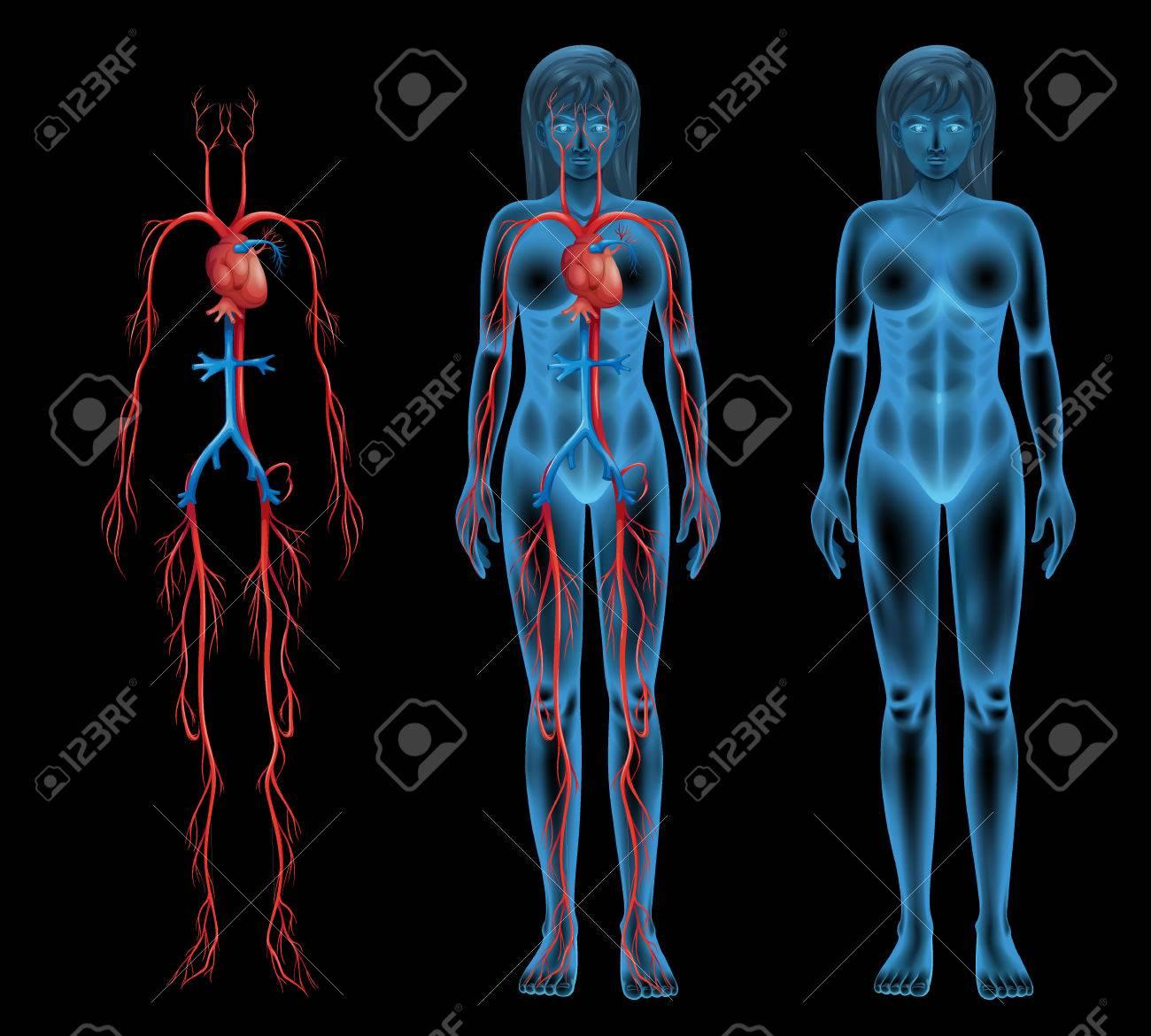 Ilustración Del Sistema Circulatorio Hembra Ilustraciones ...