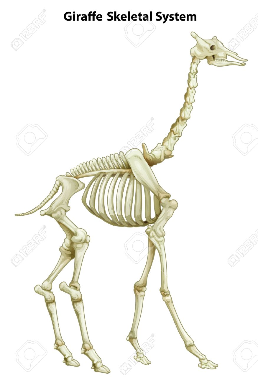 Illustration Of The Skeletal System Of A Giraffe On A White