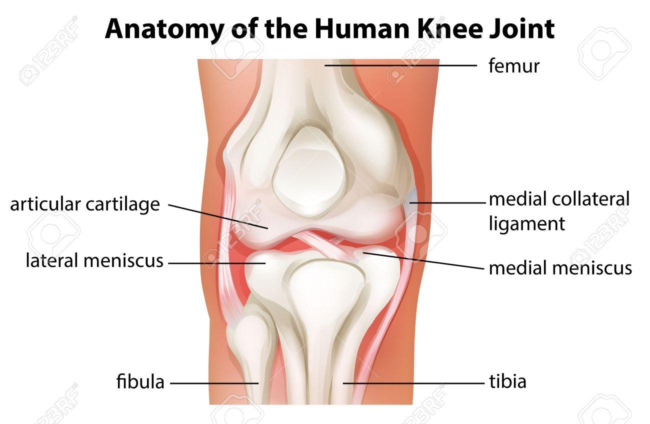 Illustration Des Menschlichen Kniegelenk Anatomie Auf Einem Weißen ...