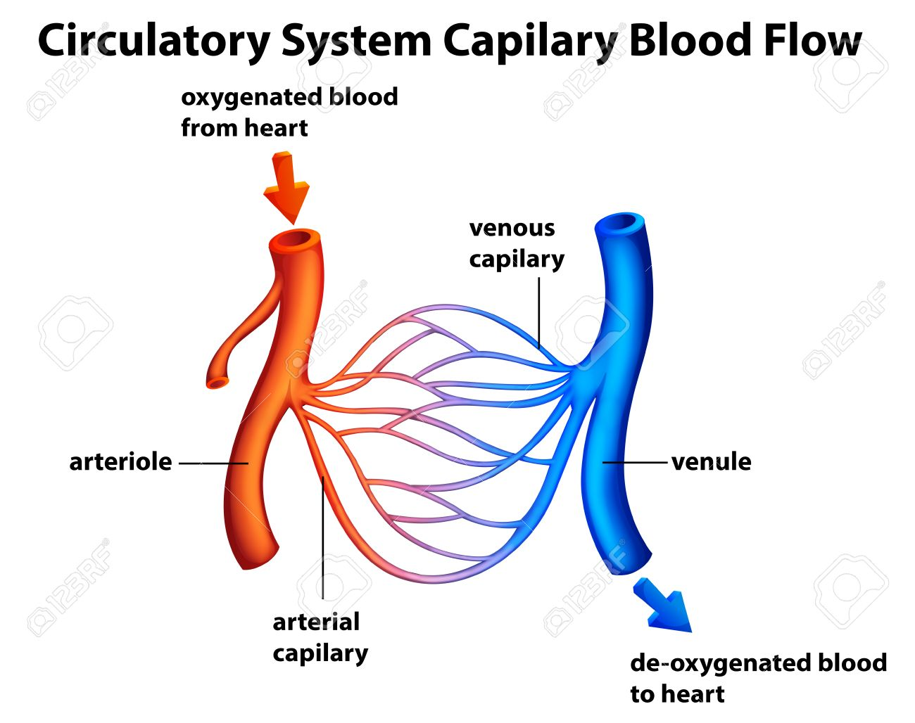 Illustration Of The Circulatory System Capilary Blood Flow