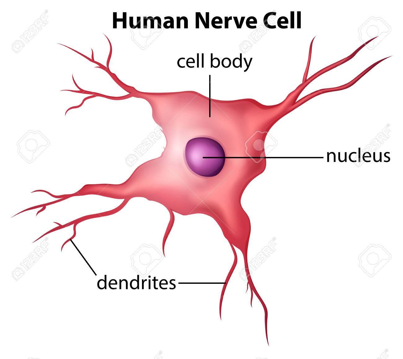 Ilustración De La Célula Nerviosa Humana Sobre Un Fondo Blanco ...