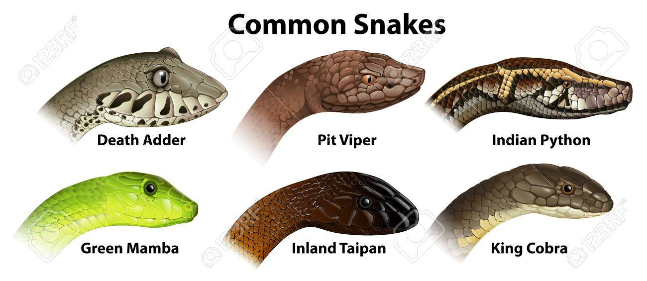 Illustration of the common snakes on a white background Stock Vector - 23978022