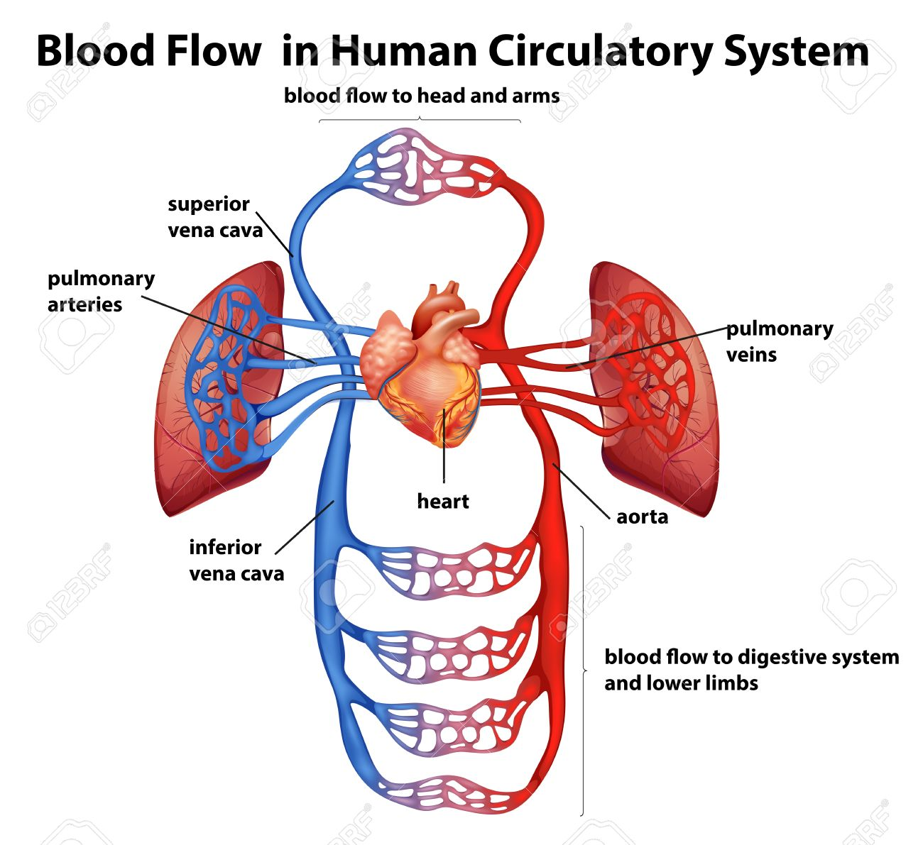 Illustration Of The Blood Flow In Human Circulatory System On ...