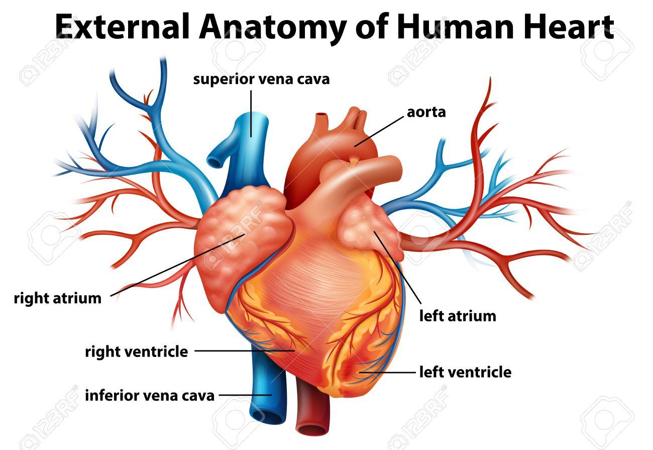Illustration Der Anatomie Des Menschlichen Herzens Auf Weißem ...