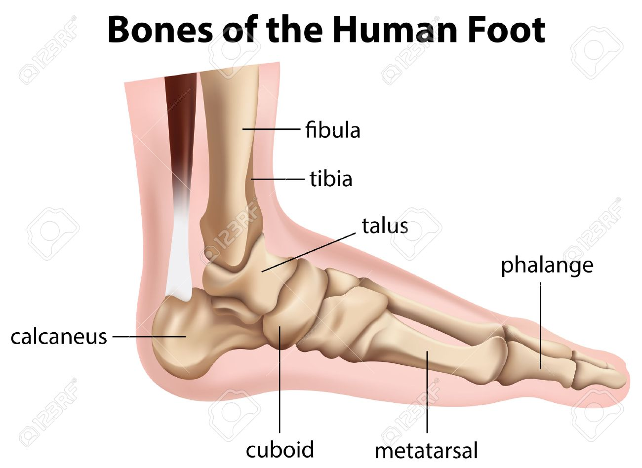 Illustration Of The Bones Of The Human Foot On A White Background ...