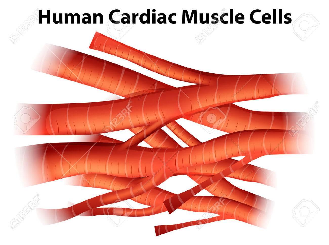 Ilustración De Las Células Musculares Cardíacas Humanas Sobre Un ...