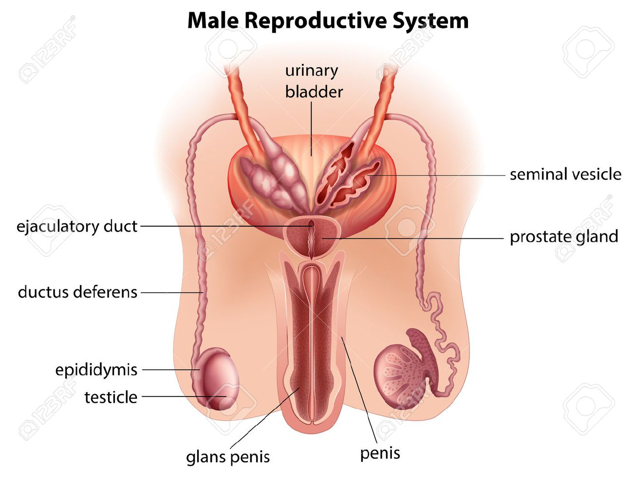 Illustration Of The Anatomy Of The Male Reproductive System On ...