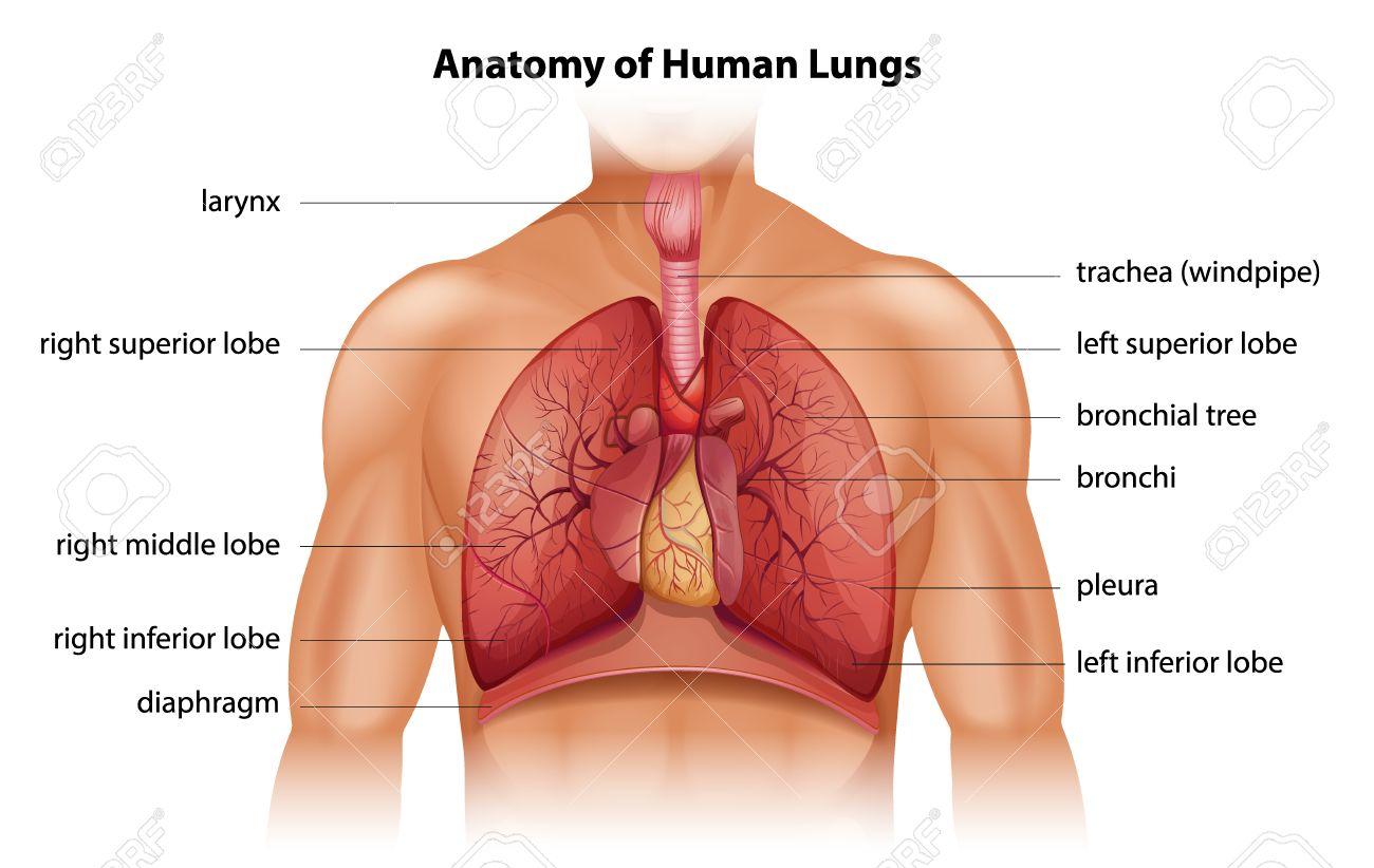 Anatomía De Los Pulmones Humanos Ilustraciones Vectoriales, Clip Art ...