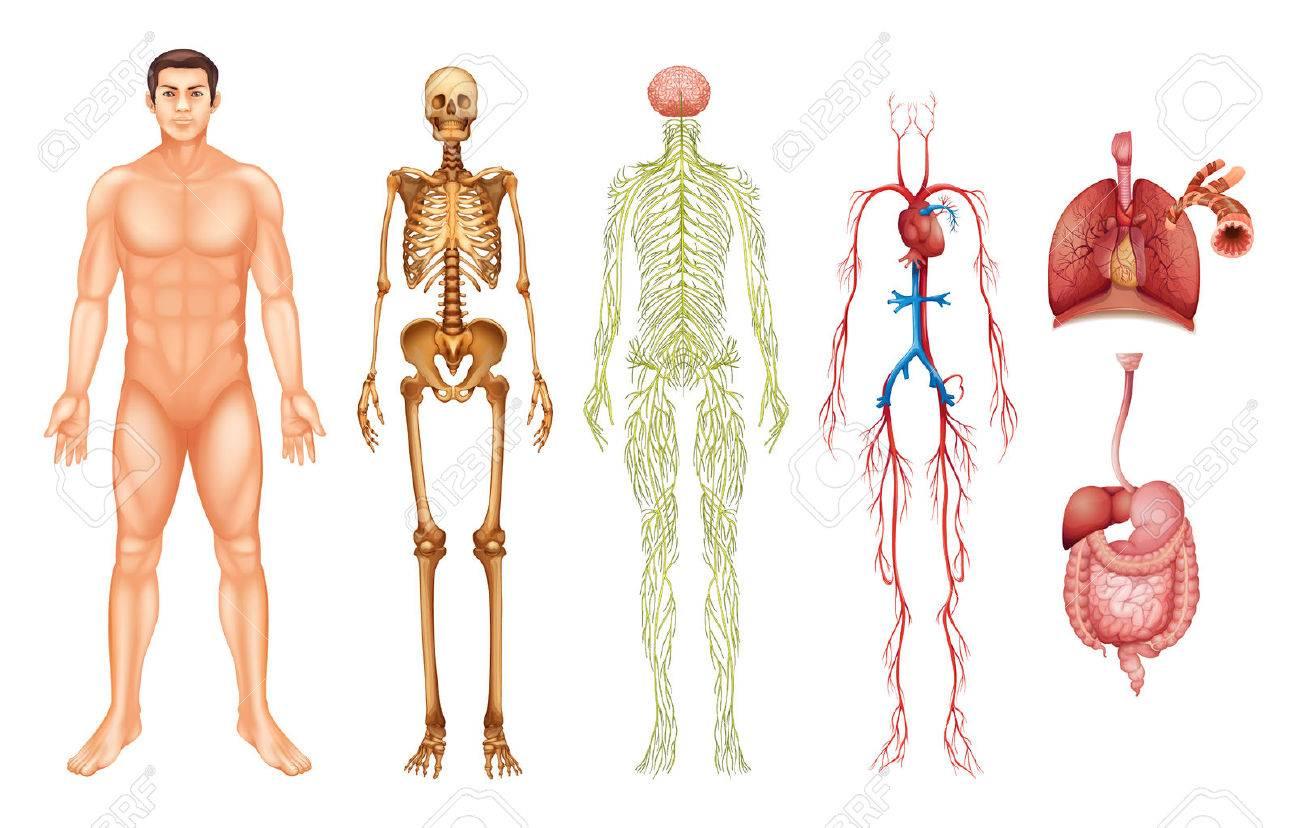 Verschiedene Körpersysteme Und Organe Lizenzfrei Nutzbare ...