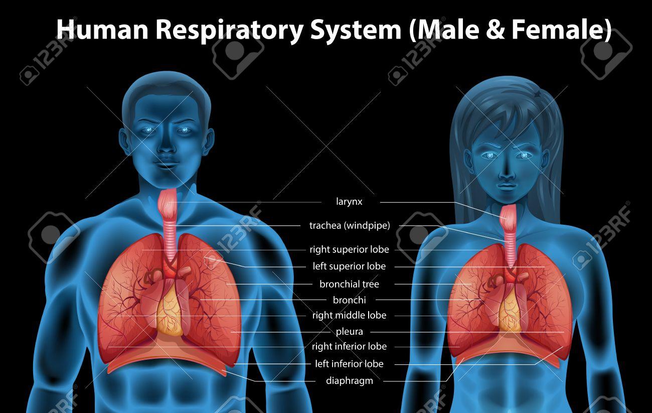 Der Menschliche Atmungssystem Des Männlichen Und Weiblichen ...
