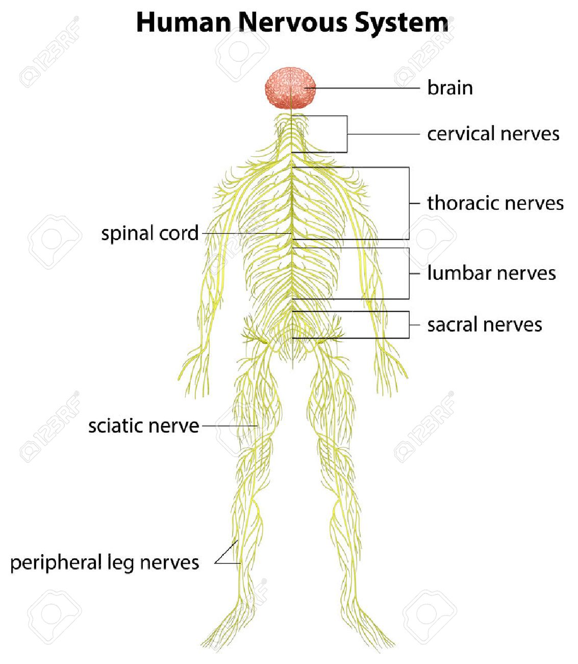 An Image Showing The Human Nervous System Royalty Free Cliparts