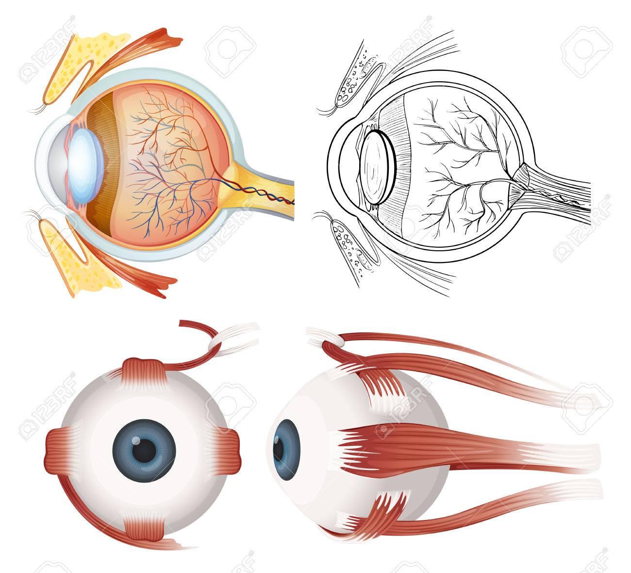 Anatomie Des Menschlichen Auges Auf Weißem Hintergrund Lizenzfrei ...