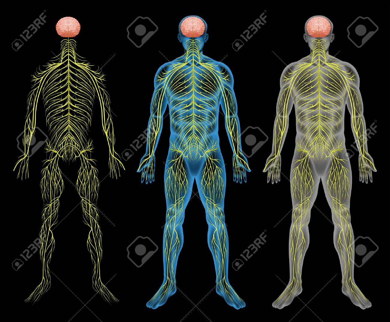 Human Nervous System Stock Photos Royalty Free Human Nervous System