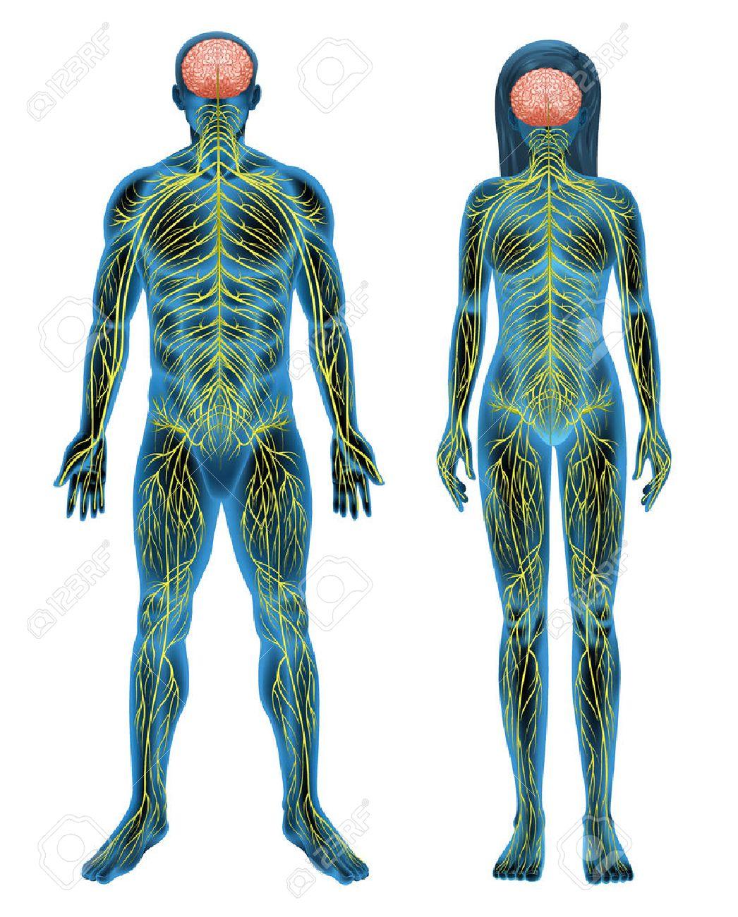 Ausgezeichnet Bilder Menschliches Männliches Fortpflanzungssystem ...
