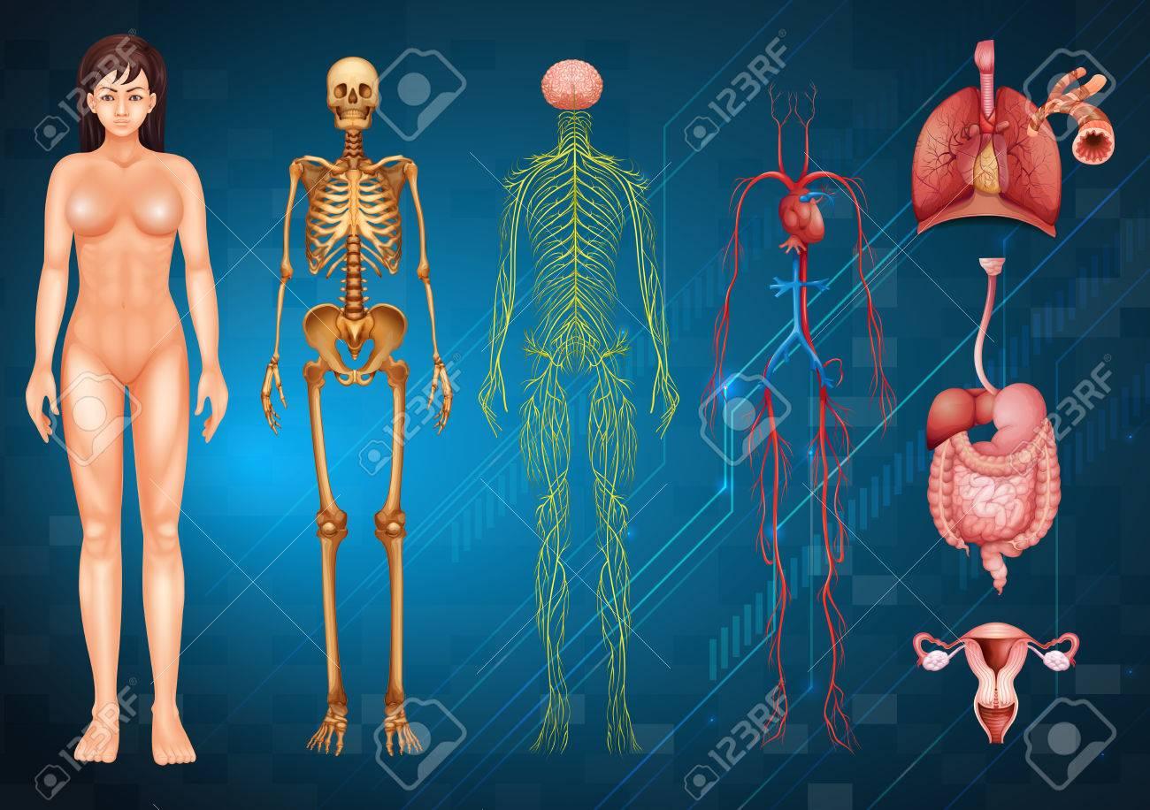 Illustration Verschiedener Menschlicher Körpersysteme Und Organe ...