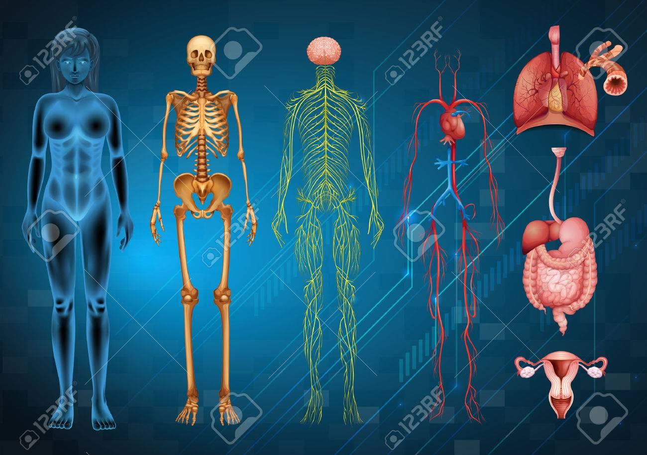 Varios Sistemas Del Cuerpo Humano Y órganos Ilustraciones ...