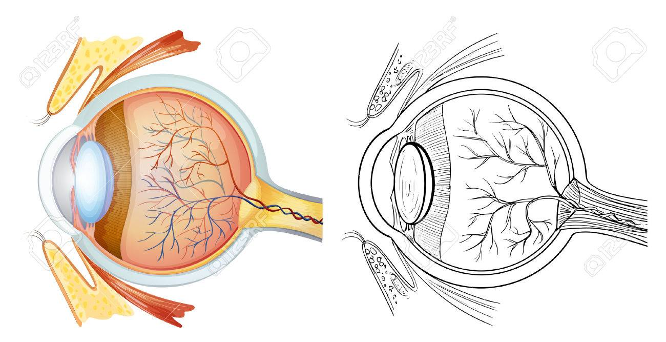 Diagram Of An Eye Anatomy Royalty Free Cliparts, Vectors, And Stock ...