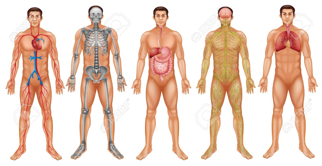 Gráfico Del Sistema Del Cuerpo Humano Ilustraciones Vectoriales ...