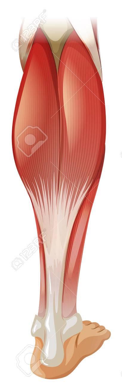 Magnífico Pierna Diagrama Anatomía Ilustración - Imágenes de ...