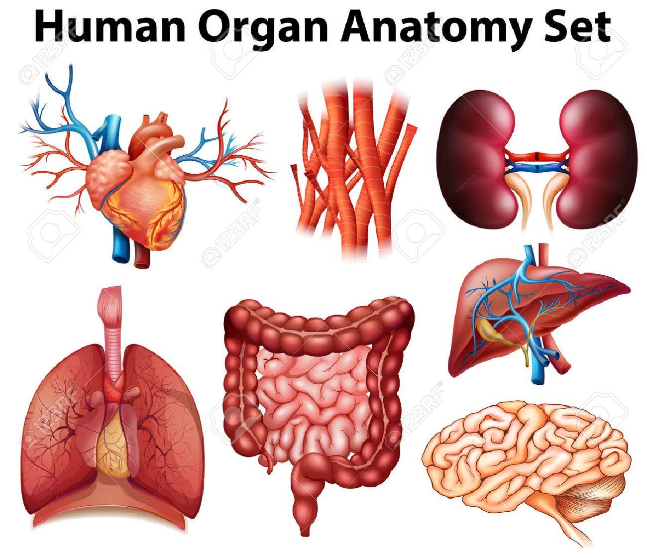 Anatomy Stock Photos Royalty Free Anatomy Images