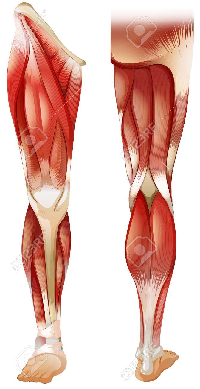 Cartel De Frente Y Músculo De La Pierna Hacia Atrás Ilustraciones
