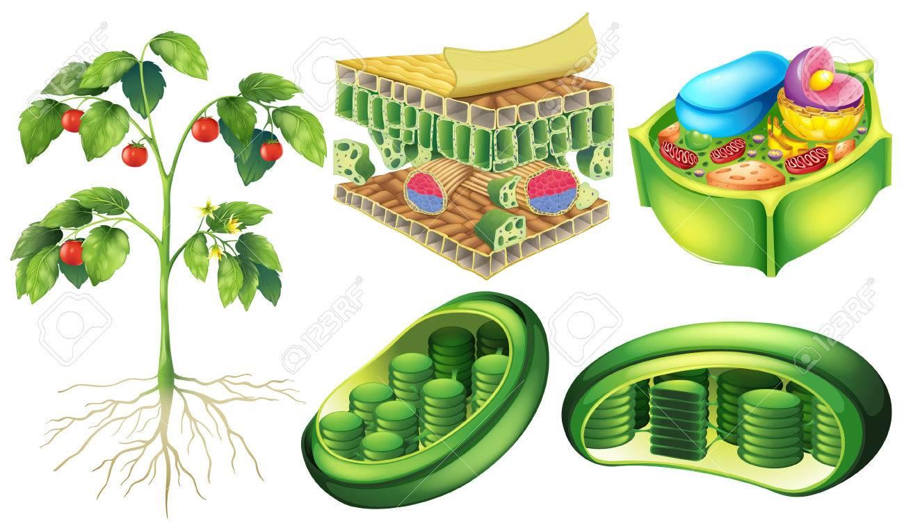 Cartel Que Ilustra La Anatomía Célula Vegetal Ilustraciones ...