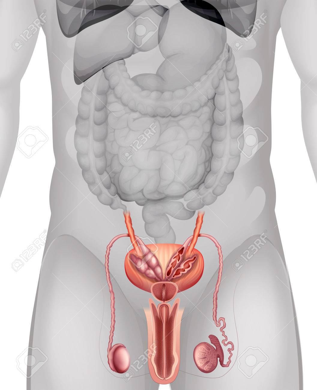 Diagrama De Los Genitales Masculinos En Detalle Ilustración ...