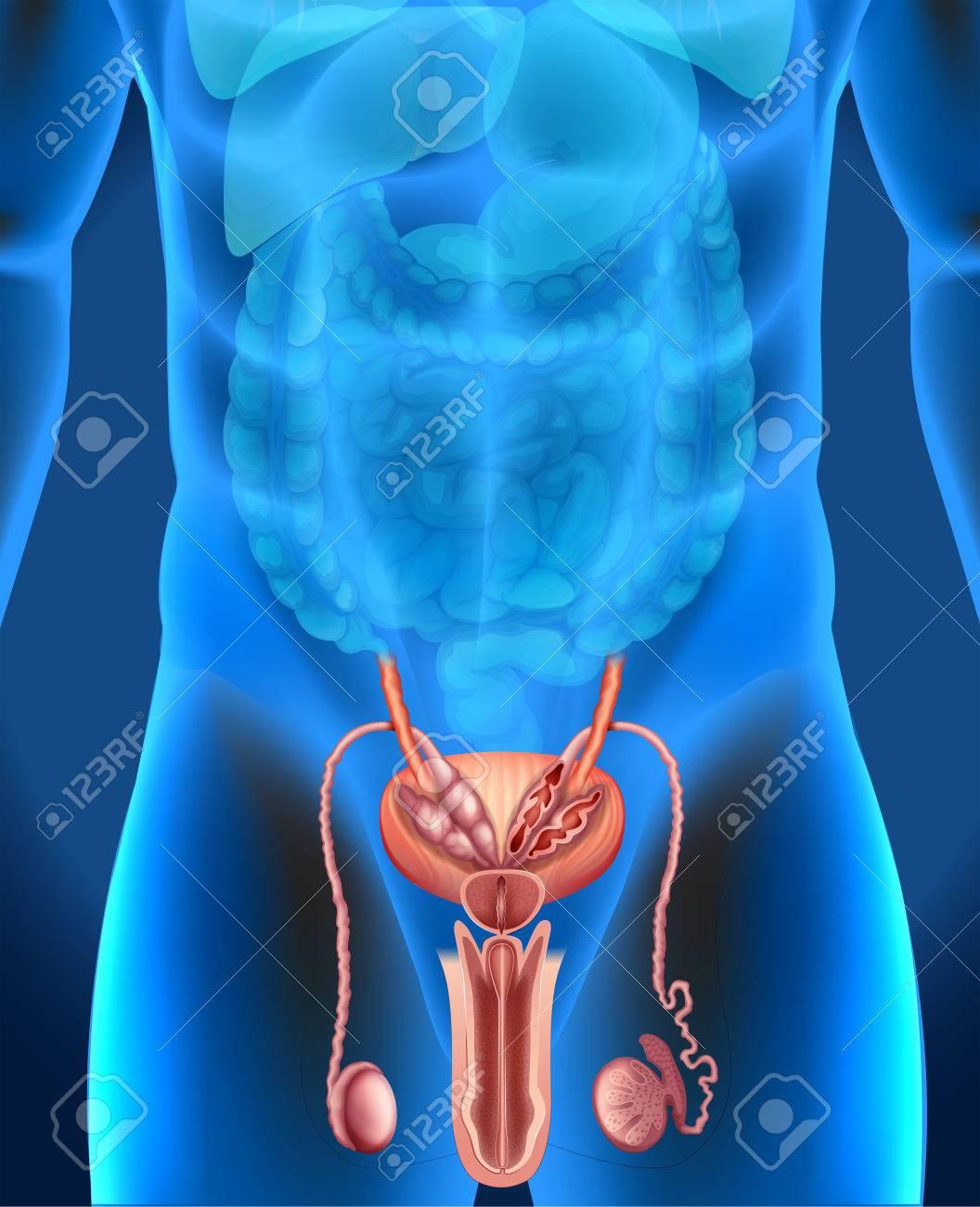 Sistema De Genitales Masculinos En Humano Ilustración Ilustraciones ...