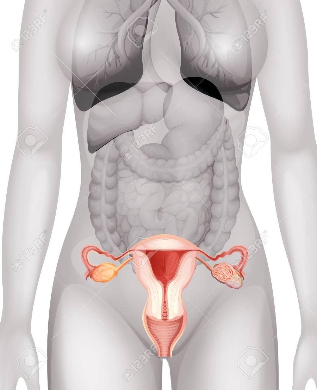 Los Genitales Femeninos En La Ilustración Cuerpo Humano ...