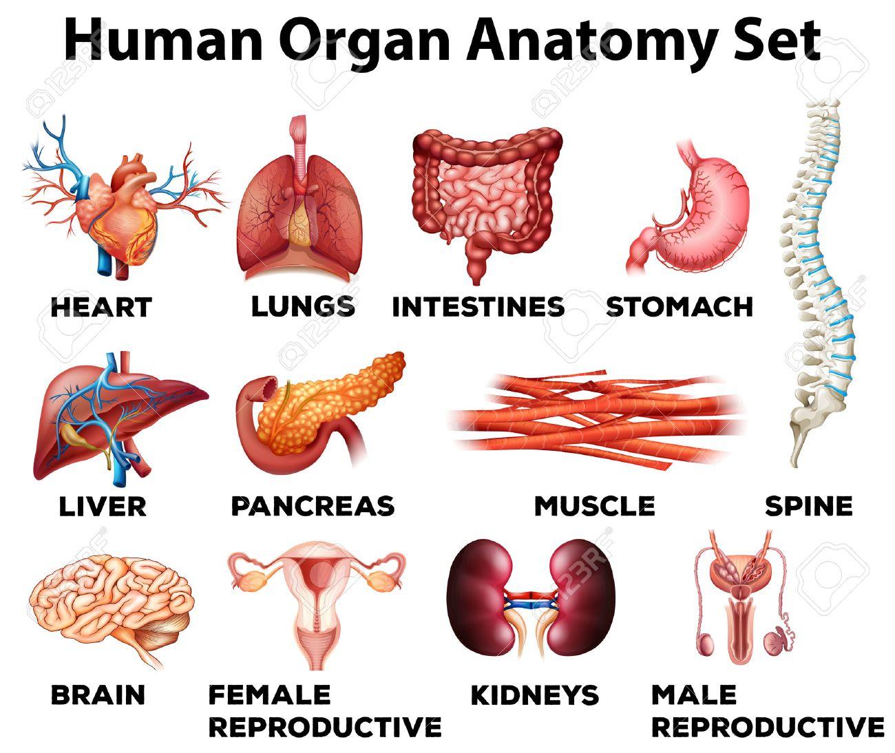Rganos Humanos Conjunto Anatomía Ilustración Ilustraciones ...