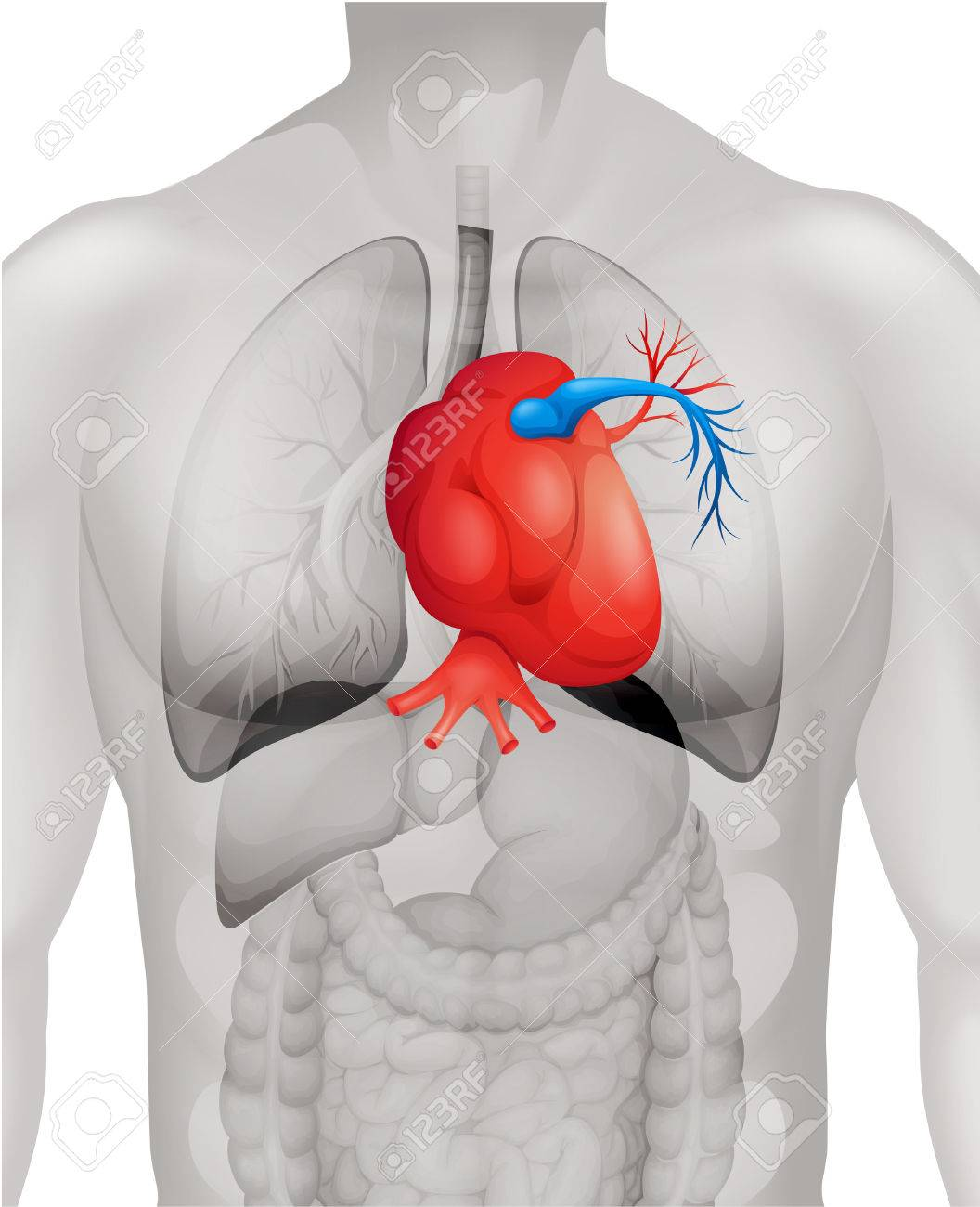 Human Heart Diagram In Detail Illustration Royalty Free Cliparts