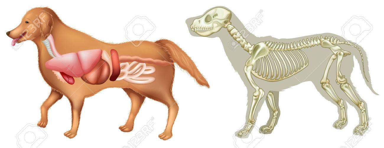 Anatomy And Skelton Of Dog Illustration Royalty Free Cliparts