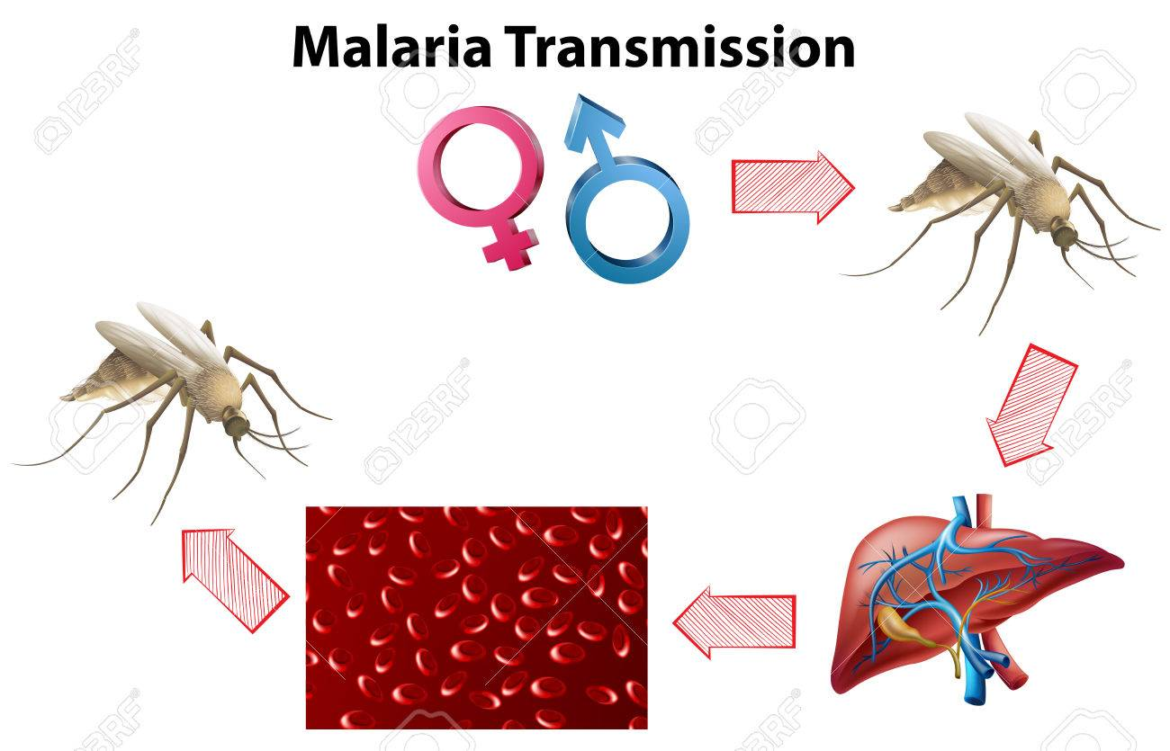 Malaria transmission diagram with no text illustration royalty free malaria transmission diagram with no text illustration stock vector 46286156 ccuart Image collections