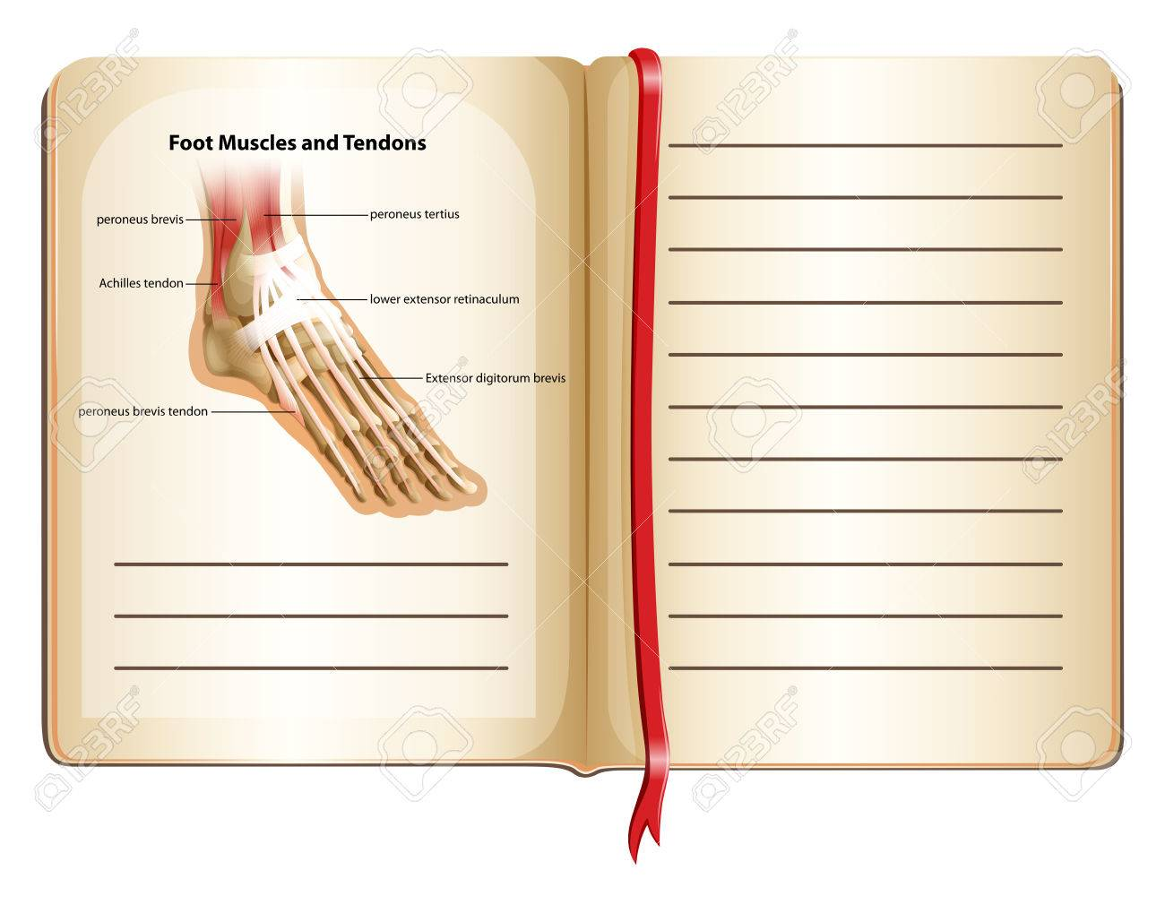 Foot Muscles And Tendons On Page Illustration Royalty Free Cliparts