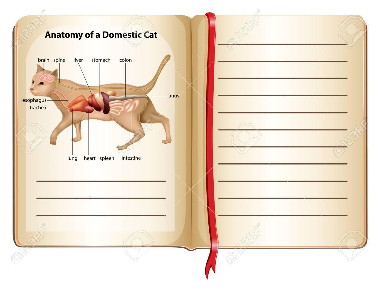 Anatomía De Una Ilustración Gato Doméstico Ilustraciones Vectoriales ...