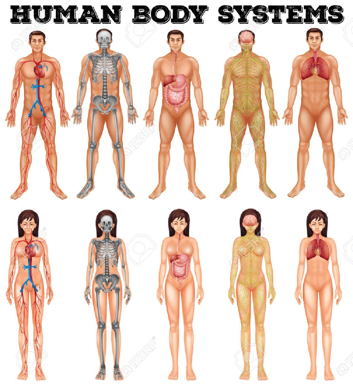 Human Anatomy Stock Photos Royalty Free Human Anatomy Images