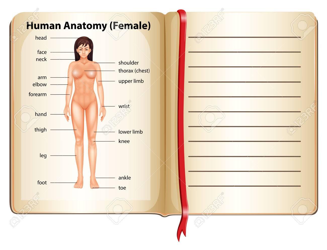Human Anatomy Of Female Illustration Royalty Free Cliparts, Vectors ...