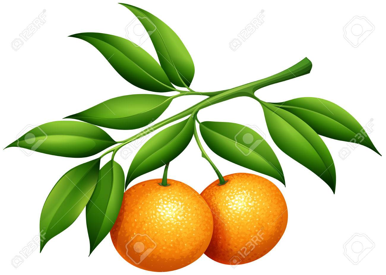 Oranges with stem and leaves illustration - 48834053