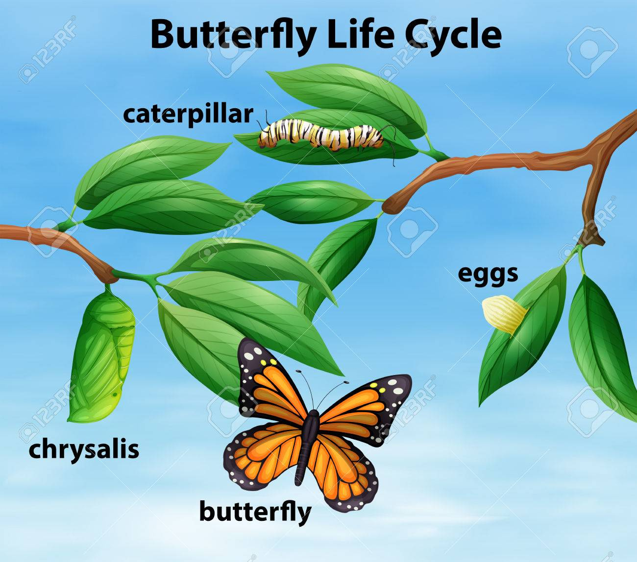 Butterfly Life Cycle Diagram Illustration Royalty Free Cliparts ...