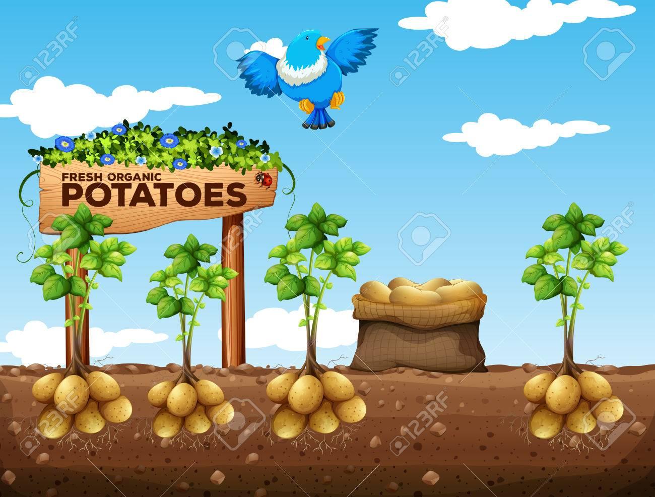 Scene of potatoes farm illustration - 55638372