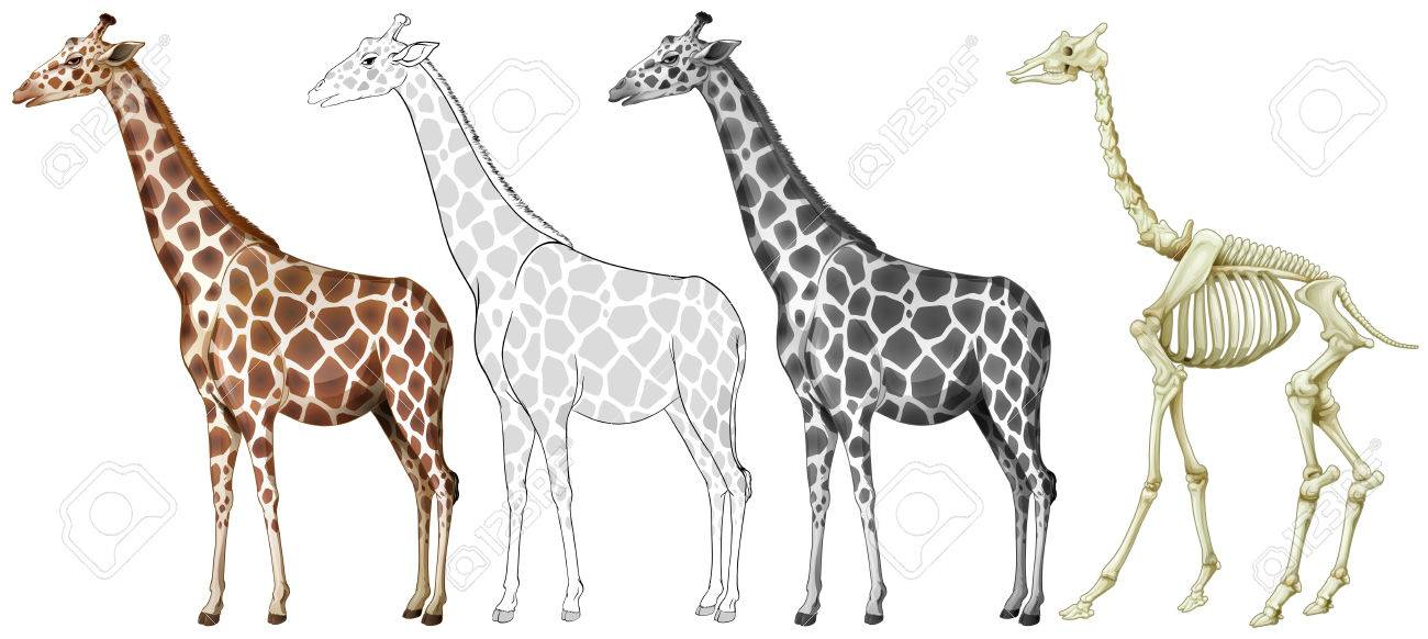 Giraffe And Its Bone Structure Illustration Royalty Free Cliparts ...