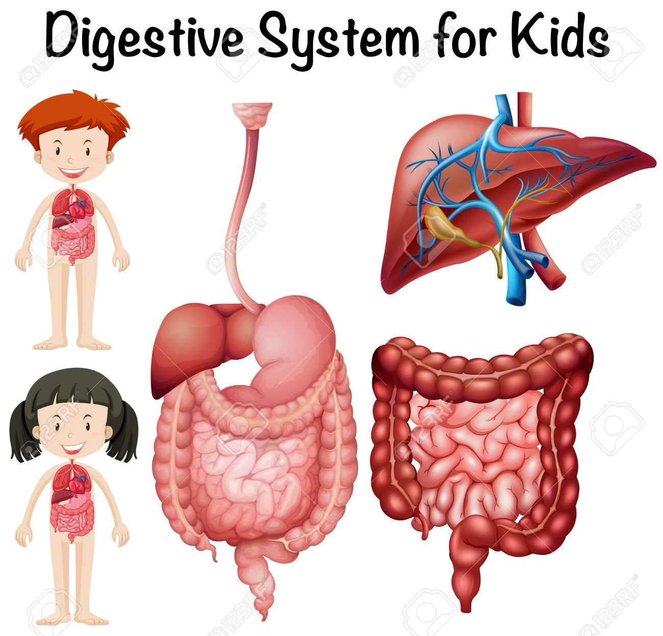 El Sistema Digestivo De Los Niños Ilustración Ilustraciones ...